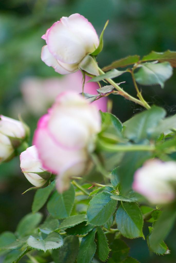 RosesJardin